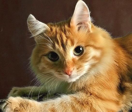 Желтая кошка
