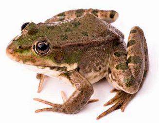 Лягушки, жабы, тритоны и саламандры уверенно занимают место в сердцах террариумистов, покоряя их своим изяществом и