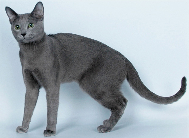 русская голубая фото кошек