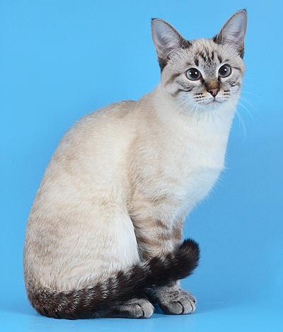 кошка тайской породы фото