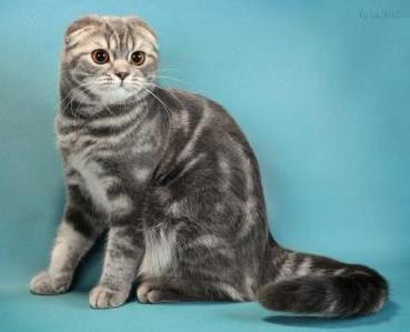 Шотландский вислоухий кот особенности породы