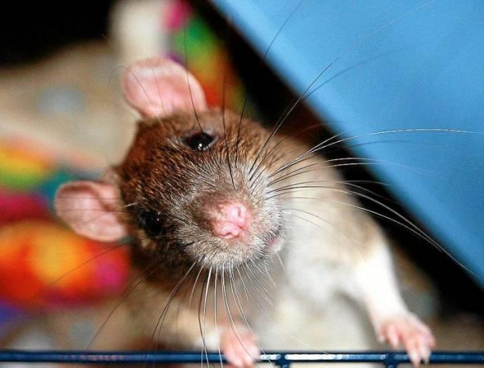 Крысий хуй