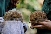 В израильском зоопарке ежей посадили на диету