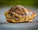 Какую черепаху завести дома