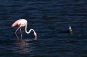 Розовый фламинго на Ахтубе