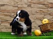Швейцарским собакам разрешили лаять, когда хотят, где хотят, сколько хотят