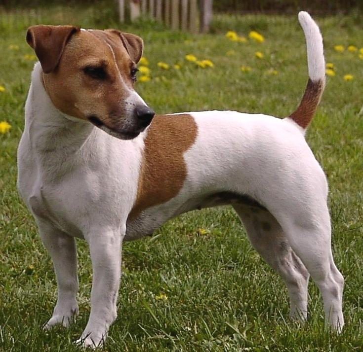 Собака породы джек рассел терьер картинки